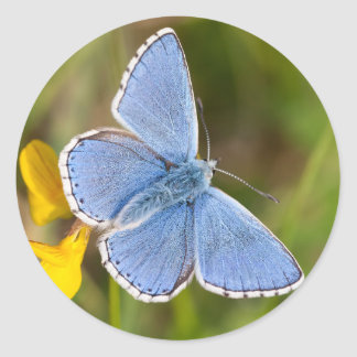 De mooie Blauwe Stickers van de Vlinder Adonis