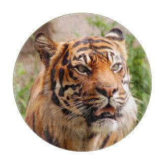 De mooie scherpe raad van het tijgergezicht
