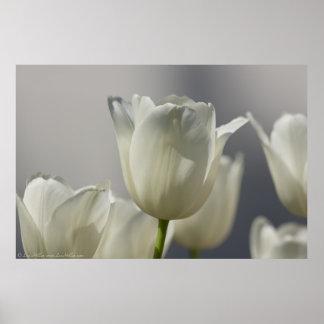De mooie Witte Tulpen van de Lente Poster