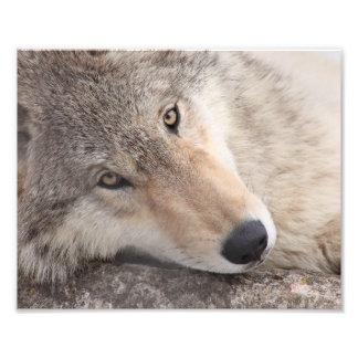 De Ogen van de wolf - de Wolf van het Hout Foto Afdruk