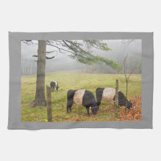 De omgorde Koeien van Galloway op Boerderij in Handdoeken