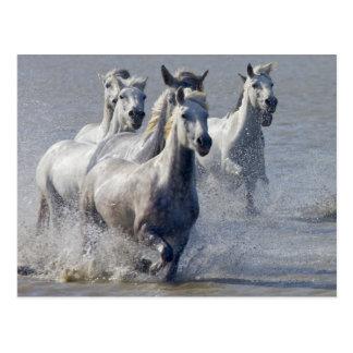 De paarden die van Camargue op te kruisen moerasla Wens Kaart