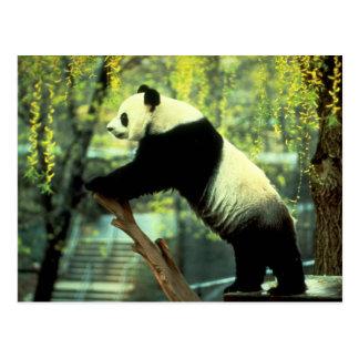 De reuze Rek van de Yoga van de Panda Briefkaart