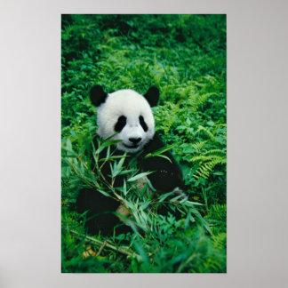 De reuze welp van de Panda eet bamboe in de struik Poster