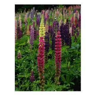 De rode bloemen van Lupines Briefkaart