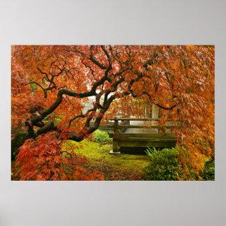 De rode Geregen Boom van de Esdoorn in Japanse Tui Poster