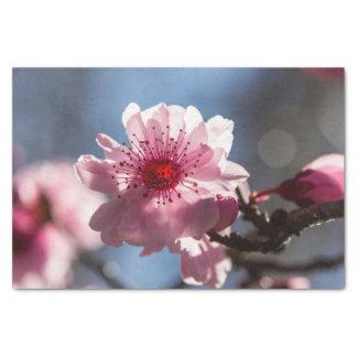 De roze Bloesem van de Kers Backlit in de Tissuepapier