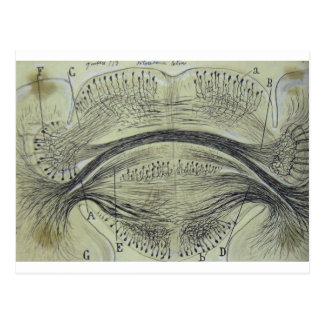 De ruggegraatsneuronen van Cajal - 5 Briefkaart