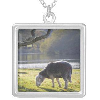 De schapen van Herdwick bij de Steile rots van Zilver Vergulden Ketting