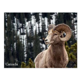 De Schapen van het Bighorn - Canada Briefkaart