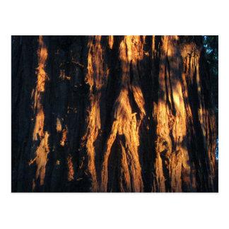 """De """"schors van de Californische sequoia! """" Briefkaart"""