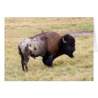 De stoffige Stier van de Bizon in Nationaal Park Wenskaart