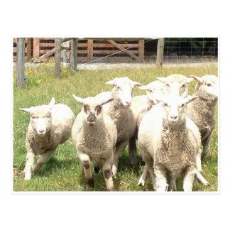 De Stormloop van schapen Briefkaart