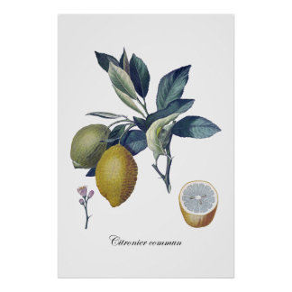 De studie botanisch vintage poster van de CITROEN