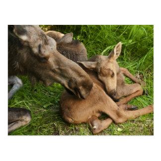 De tedere Amerikaanse elanden van de Moeder Briefkaart