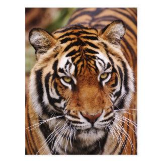 De Tijger van Bengalen, Panthera Tigris Briefkaart
