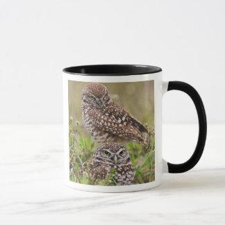 De Uil van Burrowing, Athene cunicularia, het Mok