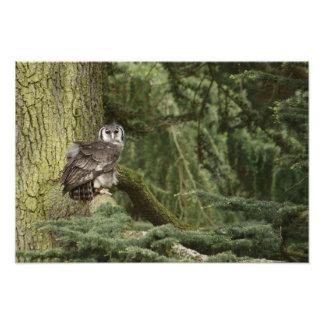 De Uil van Eagle in Bos Fotoafdruk