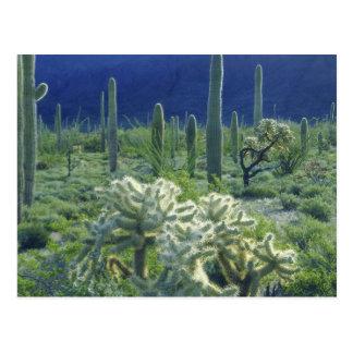 De V.S., Arizona, Nationale de Cactus van de Pijp Briefkaart