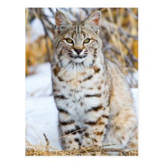 De V.S., Wyoming, Portret van zitting Bobcat Briefkaart