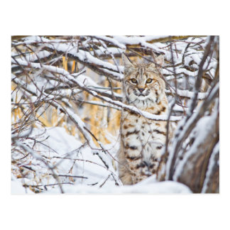 De V.S., Wyoming, zitting Bobcat in snow-covered Briefkaart