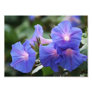 De verlichte Blauwe Glorie Wildflowers van de Ocht Foto Afdrukken