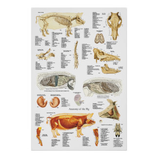 De Veterinaire Grafiek van de Anatomie van de Poster