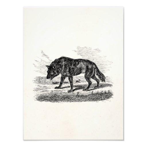 De vintage Amerikaanse Illustratie van de Wolven v Foto Print