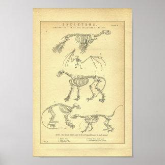 De vintage Dierlijke Druk van Skeletten Poster