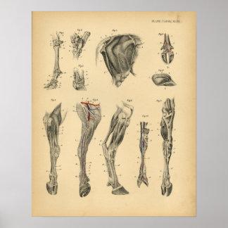 De Vintage Druk van de Anatomie 1908 van het Been Poster