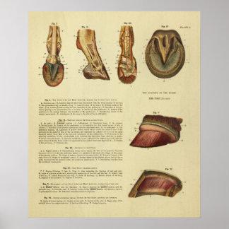 De vintage Druk van de Anatomie van de Hoef van de Poster