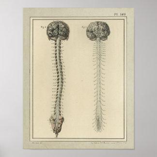 De vintage Druk van de Anatomie van het Ruggemerg Poster