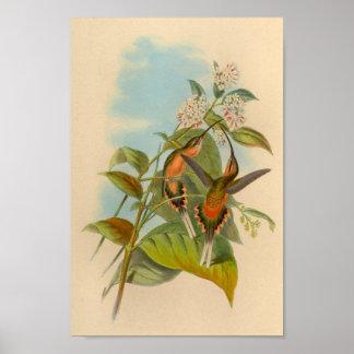 De vintage Druk van de Kolibrie van 1861 Poster