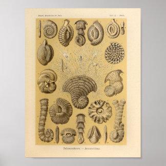 De vintage Druk van Ernst Haeckel van de Kleur Poster