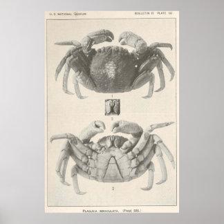 De vintage Foto van de Anatomie van de Krab (1918) Poster