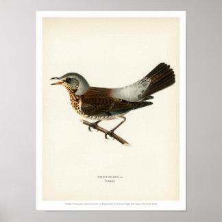 De vintage Illustratie van de Vogel - Kramsvogel Poster