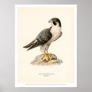 De vintage Illustratie van de Vogel - Peregrine Poster