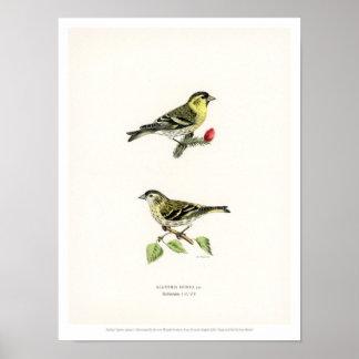 De vintage Illustratie van de Vogel - Siskin Poster