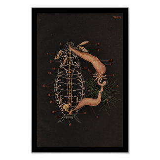De vintage Kakkerlak van de Druk van de Dierkunde Poster
