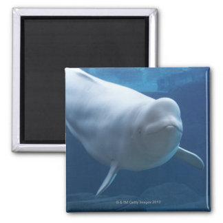 De walvis van de beloega (leucas Delphinapterus) Vierkante Magneet