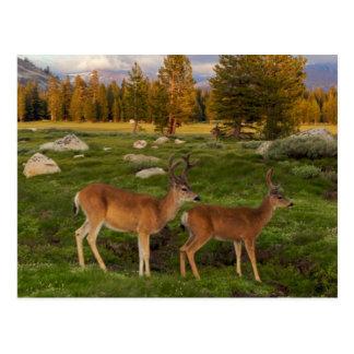 De Weide van Tuolumne, Yosemite Briefkaart