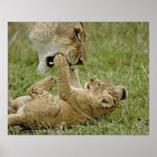 De welp van de leeuw het spelen met vrouwelijke le poster