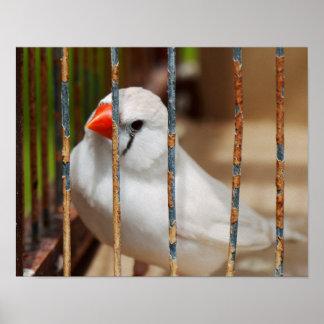 De witte Gestreepte Vogel van de Vink in Kooi Poster