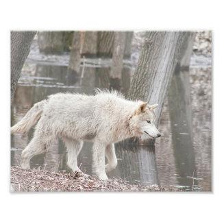 De Wolf die van het hout naast Water lopen Foto Afdruk