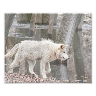 De Wolf die van het hout naast Water lopen Fotoafdruk
