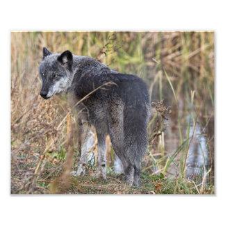 De Wolf die van het hout zich door Water bevinden Fotoafdrukken