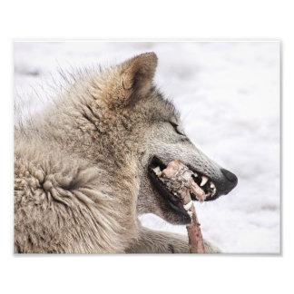 De Wolf die van het hout zijn Maaltijd eet Foto Kunst