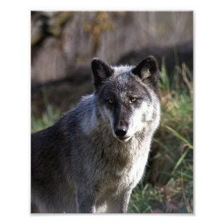 De Wolf van het hout - sluit omhoog Fotoafdruk