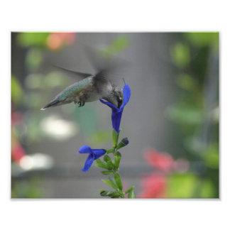 De zoemende van de salviasaffier van de Vogel blau Foto Afdruk