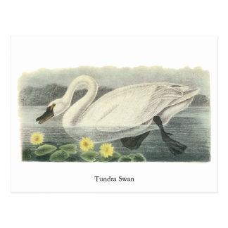 De Zwaan van de toendra, John Audubon Briefkaart